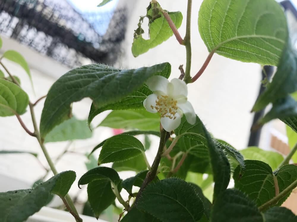 マタタビの花(雄株)